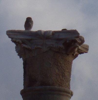 Civetta su colonna greca Leptis Magna
