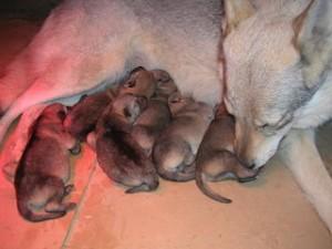 Cane&cuccioli-di-3-giorni