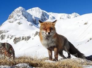 Parco nazionale d'Abruzzo, la volpe fa l'occhiolino.